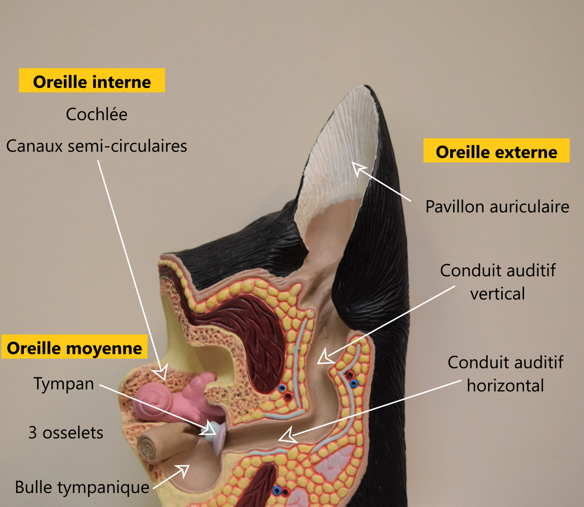 mon chien se gratte l'oreiile Image 2- Anatomie de l'oreille du chien